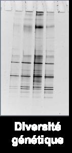 Dynamo1- diversité génétique
